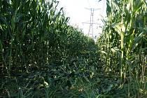 Vzrostlou kukuřici kdosi zválel a část úrody tak poškodil.