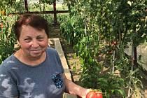 Věra Kopáčková z Brodu vypěstovala obří tyčová rajčata.