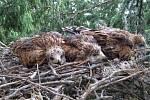 LUŇÁCI ČERVENÍ, jak je vidí ornitolog na hnízdě. Dravci jsou to klidní a stejně jako u jiných ptáků  není třeba mít obavy, že po zásahu lidí rodiče mláďata opustí.