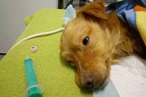 Zdravotní stav psa nalezeného v Kosově u rybníka se lepší.