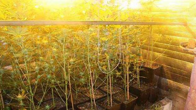 Kriminalisté odhalili pěstírnu marihuany