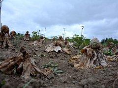 NĚKOLIKATISÍCOVÁ škoda vznikla poškozením pole od neznámého útočníka. Úroda je úplně zničená.
