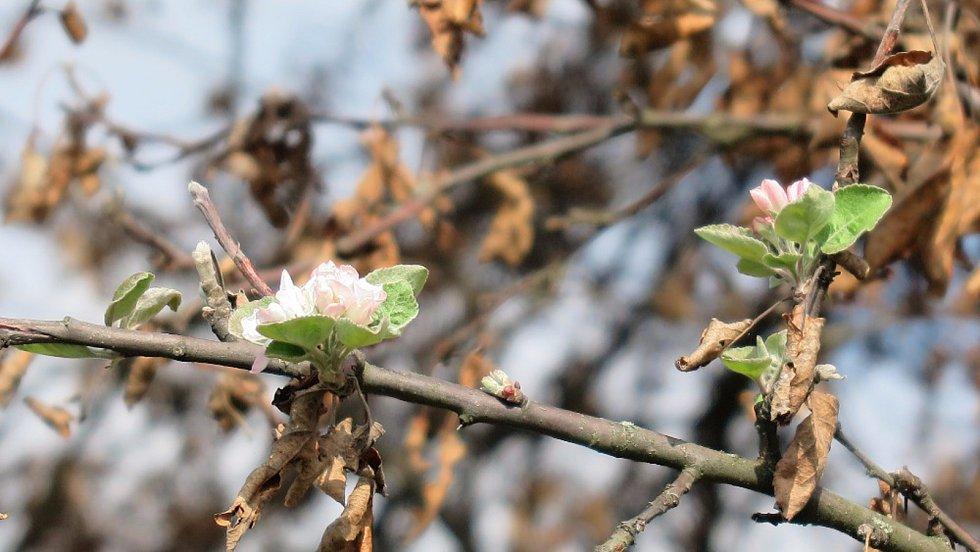 Rozkvetlé třešně u Těchlovic.