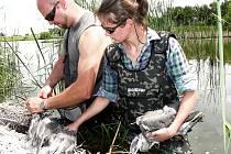 Ochránáři živočichů kroužkují mláďata ptáků na rybnících na Tachovsku.