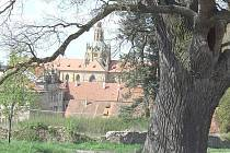 Dub nedaleko kladrubského kláštera.