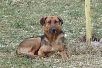 Tohoto psa nalezli v minulých dnech ve Stříbře.