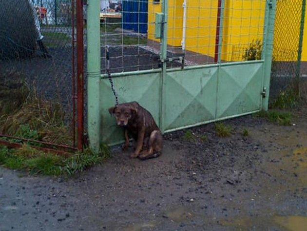 HNĚDÁ fenka, kříženka labradora, byla přivázána k bráně útulku. Ráno na ni upozornili úředníci.