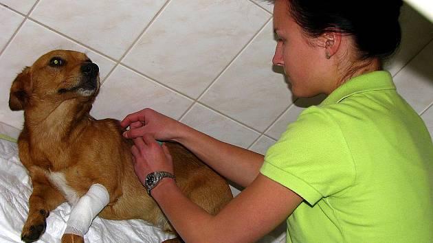 Na snímku veterinární sestra Daniela Vlnová podává nalezenému a zraněnému psu injekčně léky proti bolesti.