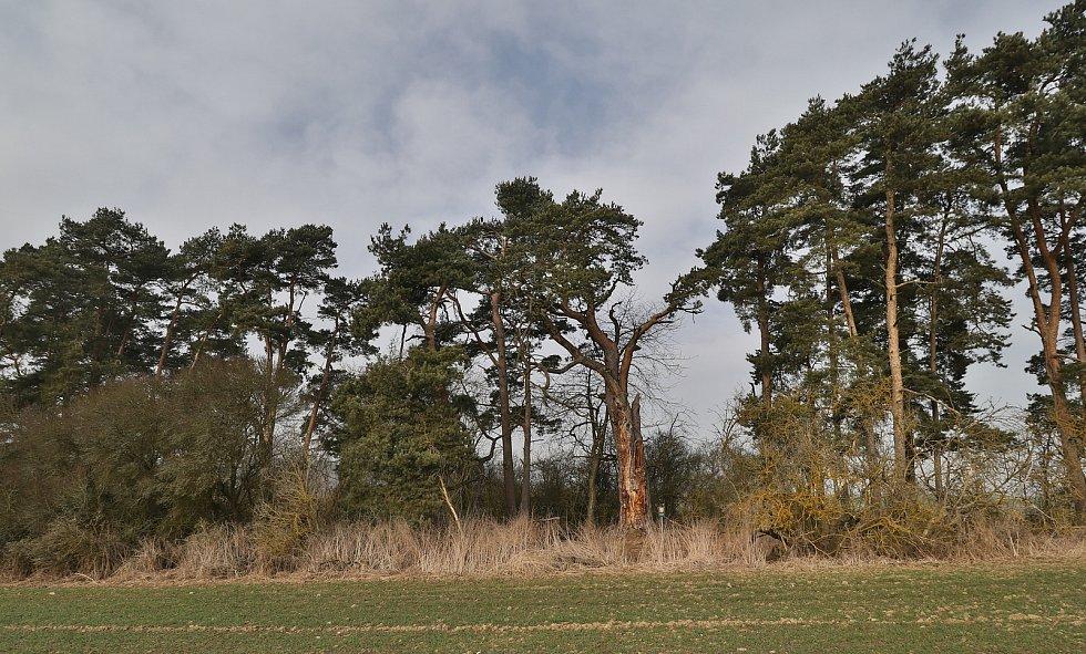 Nejmohutnější borovice v republice roste u Lomu na Tachovsku