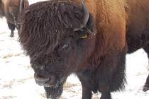Dvě desítky zvířat tvoří v současné době stádo bizonů, které se pohybuje po pastvinách v okolí Halže