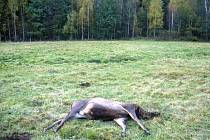 Tělo nalezeného jelena.