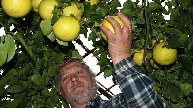 Jiří Šlechta z Chodského Újezdu má radost. Letos se mu urodily mimořádně velké grepy a mandarinky.