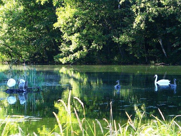 Také na tomto rybníce za Tachovem směrem na Planou byli ornitologové kroužkovat mladé labutě.