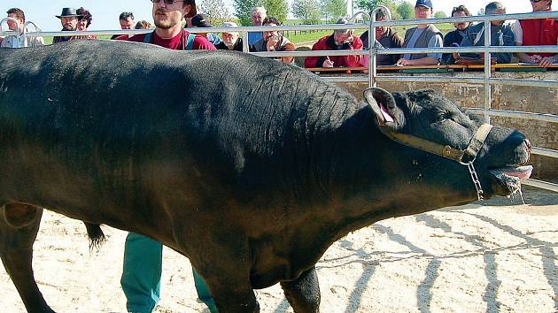 V Kundraticích se na závěr minulého týdne uskutečnila aukce býků. Ta do pořádající farmy přilákala na sto padesát návštěvníků ze všech koutů republiky.