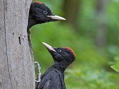 Datel černý byl Českou společností ornitologickou vyhlášen na letošek jako Pták roku.