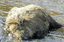 Uhynulá prasata plavala v minulých týdnech ve Mži u Milíkova na Stříbrsku.