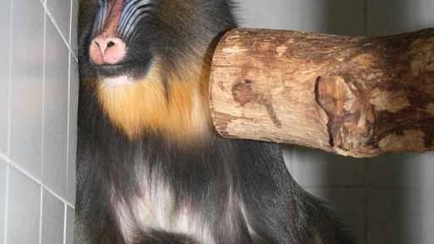 Mládě opičky mandril.
