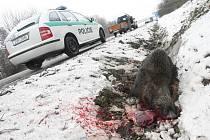 Divoké prase zkřížilo cestu řidiči osobního automobilu na silnici v Úžíně. Muselo být nakonec utraceno.