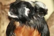 Samice tamarína bělohubého s mládětem.
