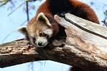 Panda červená (Anmar).