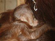 Mládě orangutana se narodilo v ústecké zoo.