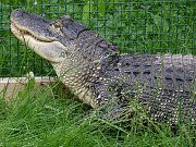 Od začátku tohoto týdne mohou návštěvníci ústecké zoologické zahrady vidět nově samici aligátora, která se jmenuje Adéla.