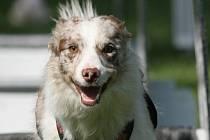 Pes musí zdolat překážky na dráze, vystřelit, chytit míček a vrátit se s ním zpět.