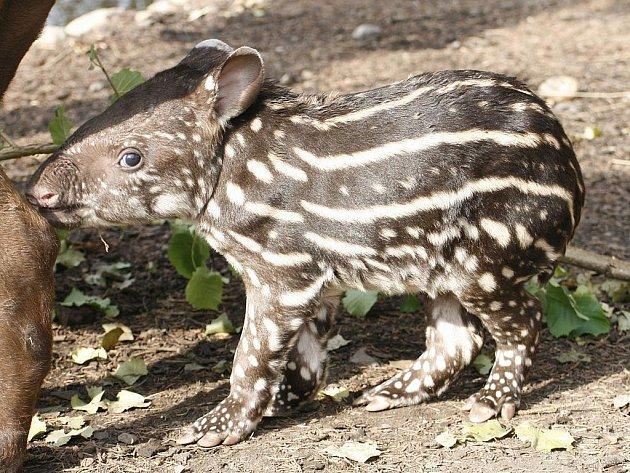 Mládě tapíra jihoamerického.