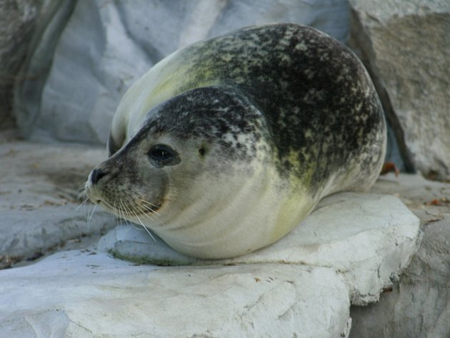 Tuleního samce Juniora musela ústecká zoo utratit.