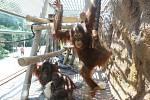 Orangutani v ústecké zoo. Archivní foto.