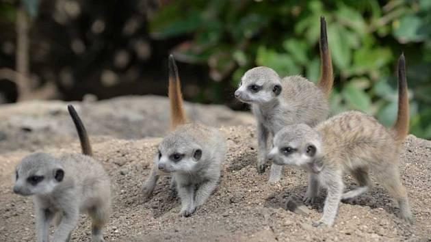 Nové přírůstky ústecké zoo - surikaty.