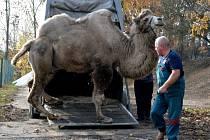 Do ústecké zoo dorazil čtrnáctiletý samec velblouda dvouhrbého.