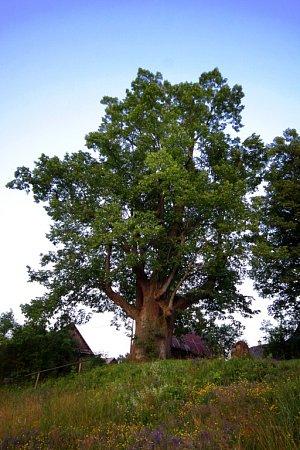 Lípa je nejčastěji nominovaným stromem do ankety.