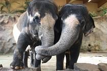 Slonice v ústecké zoo vyhlíží nového šéfa.