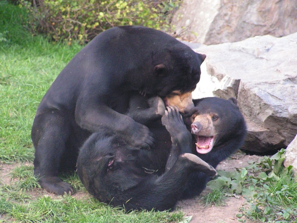 Zoo Ústí nad Labem - ilustrační foto. Medvěd malajský