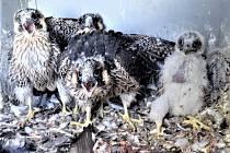 Prunéřovským čtyřčatům, zvláště už těm starším, se příliš nelíbilo, když ornitolog Václav Beran poprvé nahlédl do jejich jednopokojového bytu. Nicméně kroužky je neminuly.