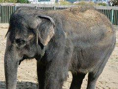 Slonice Kala z ústecké zoologické zahrady