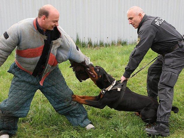 Nepříjemný pocit je cítit v zádech vrčícího zabijáka v podobě služebního psa. S rozeběhem se zakousává jeho obrovská tlama do speciálního rukávu. Psovod městské policie v Litvínově Petr Tyml měl chvílemi plné ruce práce, aby rotvajlera Katta uklidnil.