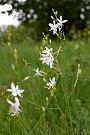 Bělozářka liliovitá.