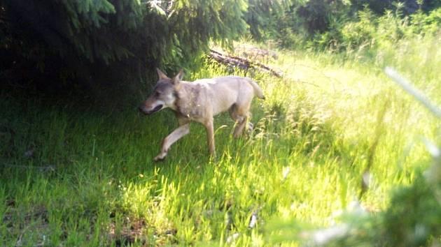 Vlk zachycený fotopastí v Krušných horách