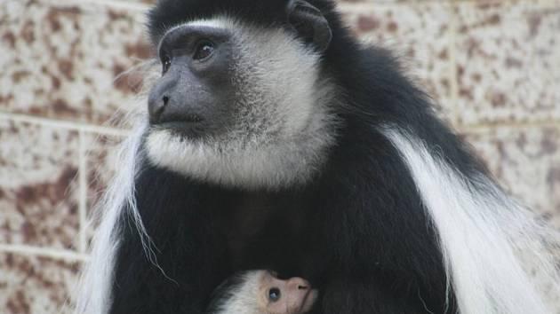 Gueréza pláštíková s mládětem.