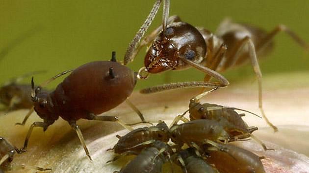 """Mravenci si staví obrovské příbytky, u vchodu mají stráže, které na noc """"brány"""" zavírají, a prakticky každý mravenec má svoji úlohu."""