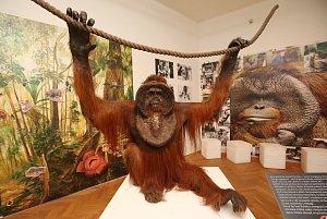 Orangutan Ňuňák bude nový obyvatel muzejních výstav
