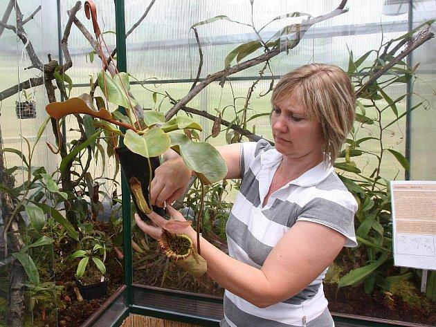 Výstava masožravých rostlin je ve skleníku přírodovědecké fakulty v ústecké čtvrti Předlice otevřena do úterý 14. června každý den včetně víkendu od 9.00 do 16.00, vstup je zdarma. Na snímku ukazuje masožravé květiny Marcela Strnadová.