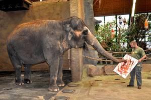 Obrázky slonice Delhi jsou na prodej.