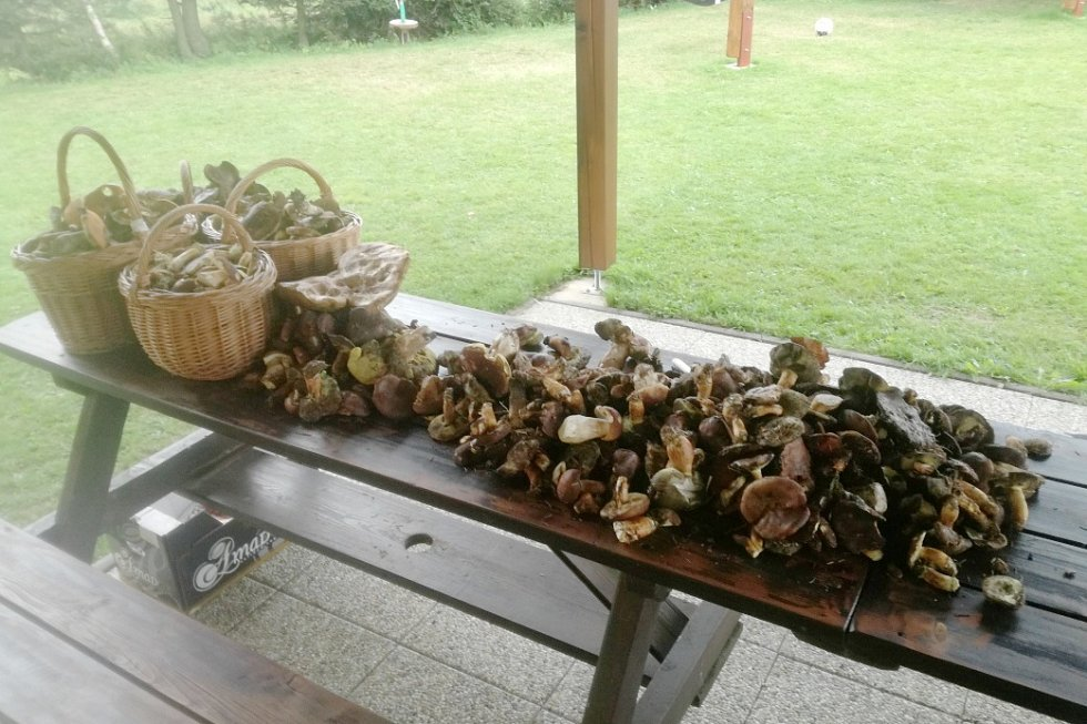 Pouhé dvě hodiny stačily Jiřímu Hložkovi v Orlických horách na nasbírání této záplavy hub