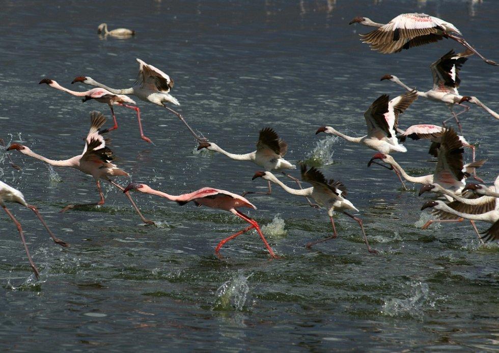 Plaměňáci, jezero Bogoria.