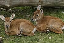 Mládě antilopy nilgau.
