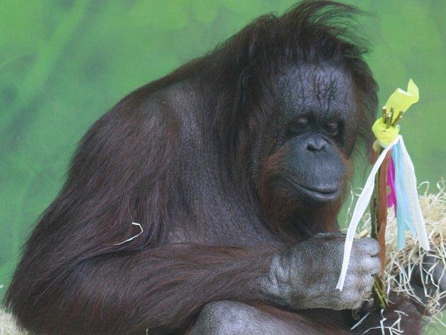 Velikonoce ústeckých orangutanů.