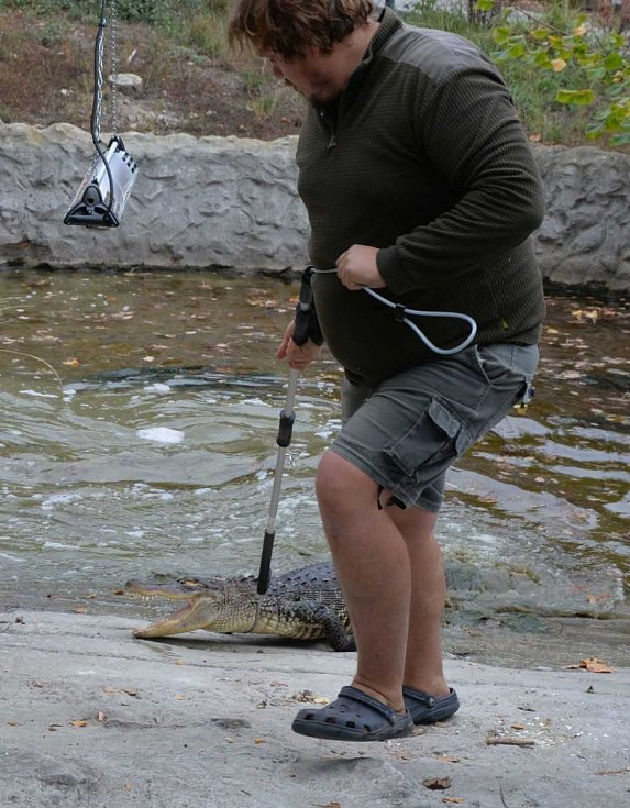 Podzimní stěhování aligátorů v ústecké zoo.